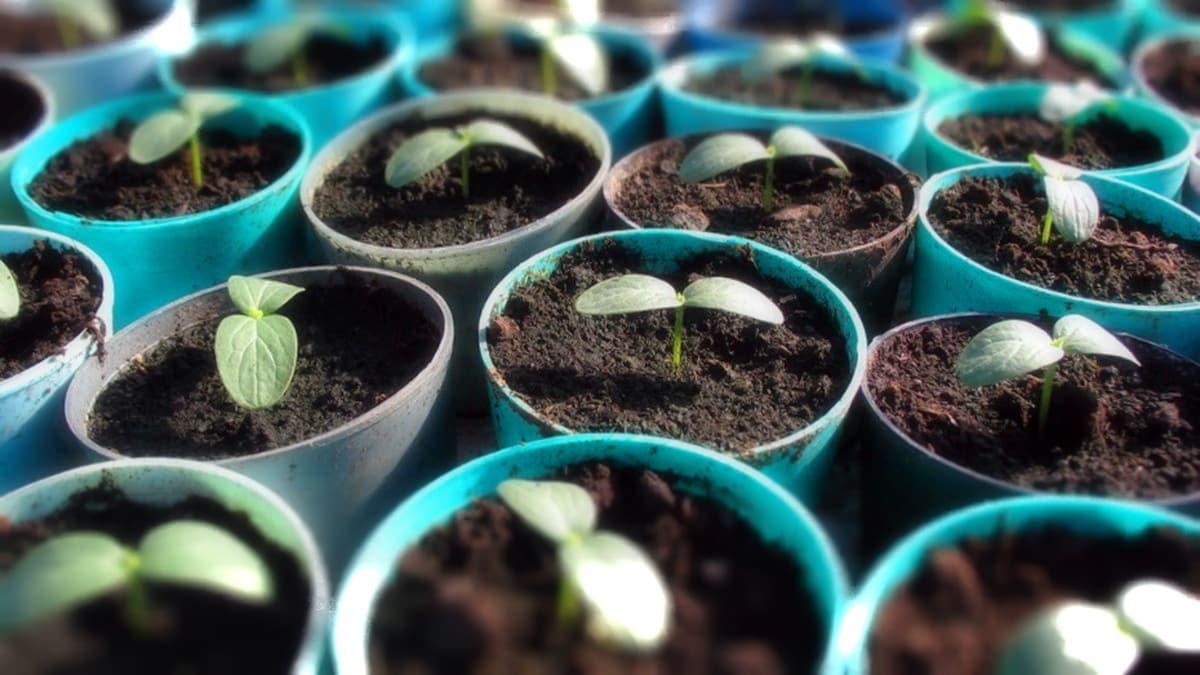 Когда рекомендуют сажать рассаду огурцов: благоприятные дни апреля 2019 года для укрепления и роста