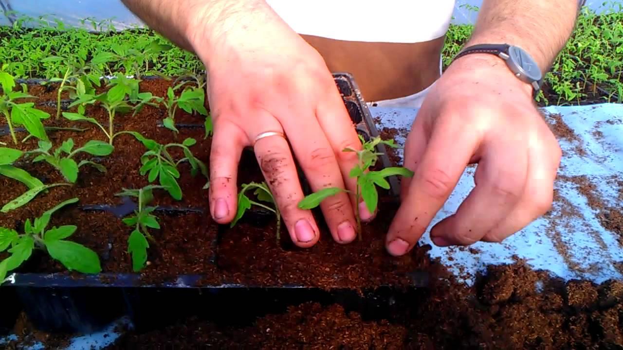 Пикирование рассады помидор, как лучше делать процедуру, советы на апрель 2019 года.