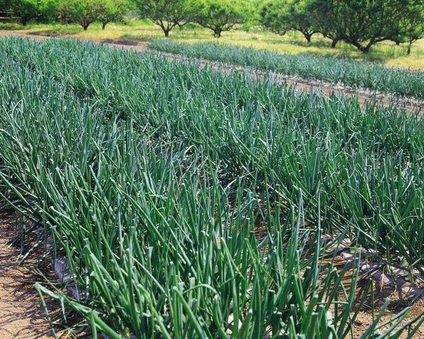 Посадка и выращивание лука - история овоща, ценные советы по посадке и уходу на апрель 2019, удачные сорта