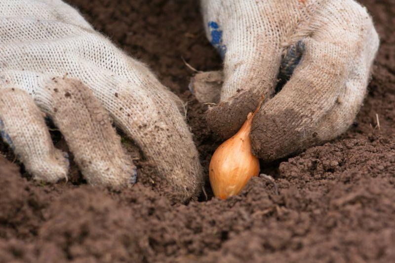 Когда сажать лук севок, рекомендации на апрель 2019 года: самое удачное время высаживания