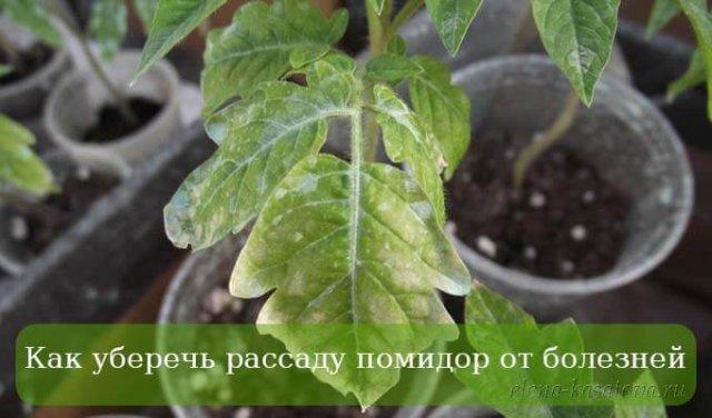 Пошаговые высадка рассады помидор