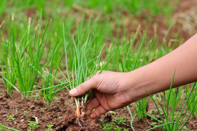Когда сажать лук севок весной: самое удачное время