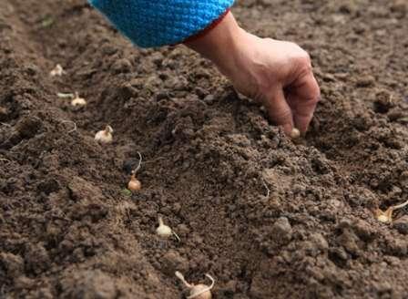 Посадка и выращивание лука - история, ценные советы по посадке и уходу