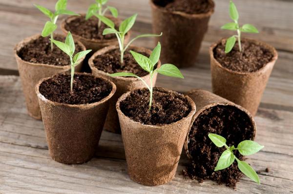Посадка семян перца на рассаду в домашних условиях: правила посева