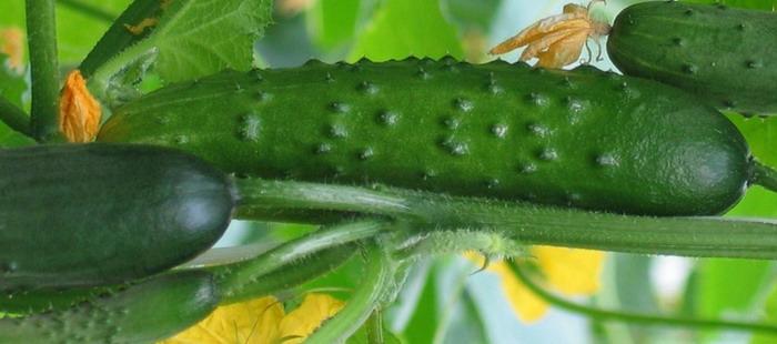 Сорта огурцов высокой урожайности, тепличные, для открытого грунта. Лучшие варианты для посадки в начале апреля 2019 года