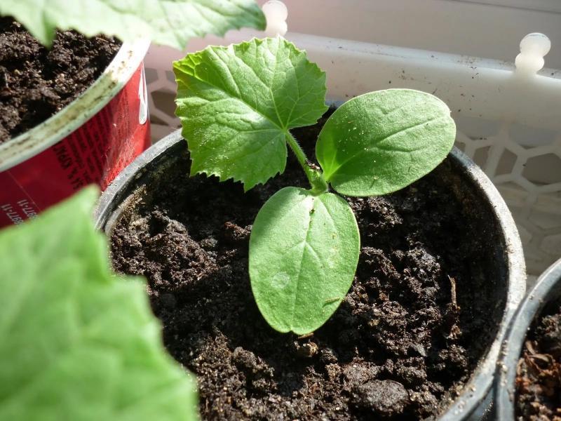 В каком месяце нужно сажать огурцы и помидоры на рассаду в 2019, как определить время для посева семян на рассаду?
