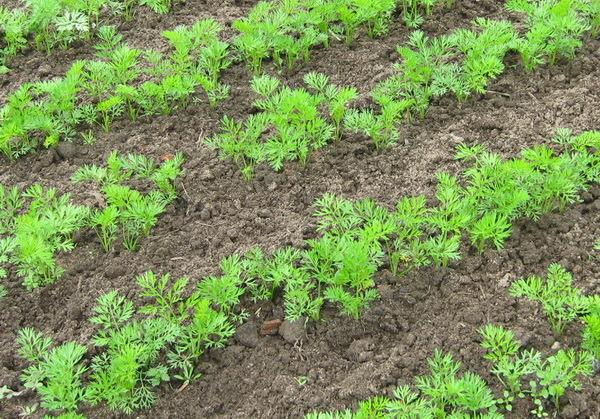 Когда и как сажать морковь весной 2019 года семенами в открытый грунт: коррективы огородных работ в зависимости от регионов и климата