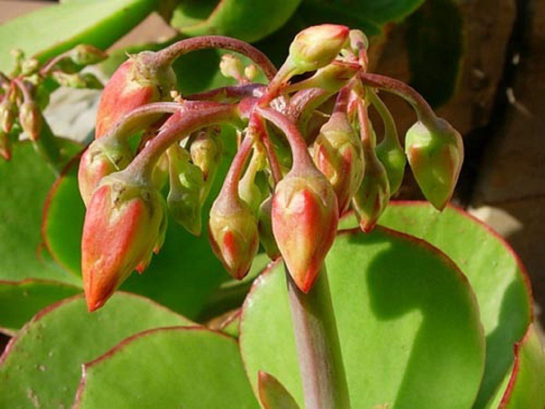 Котиледон крупноцветковый
