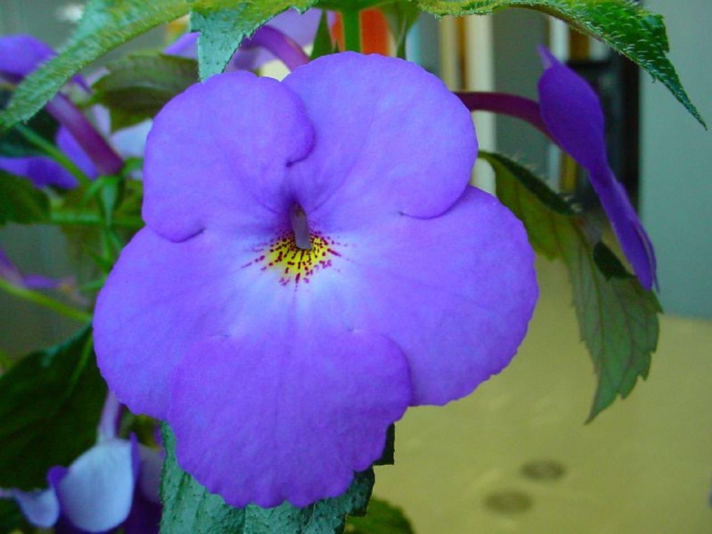 Ахименес Blue