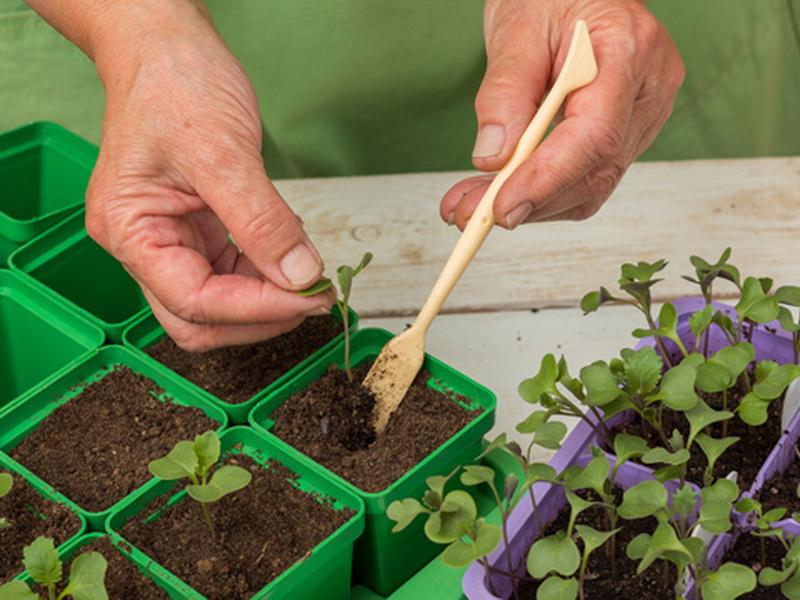 Растим рассаду капусты дома