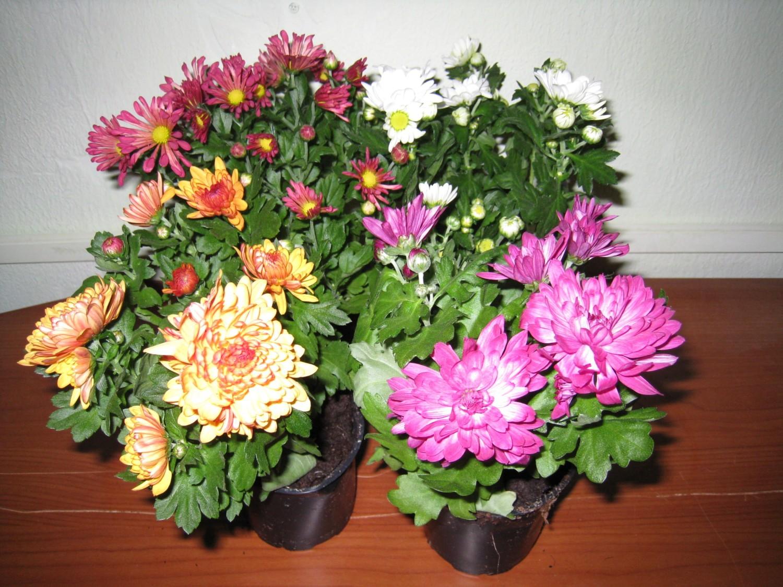 Хризантемы посадка и уход, посадка ,пересадка, зимовка