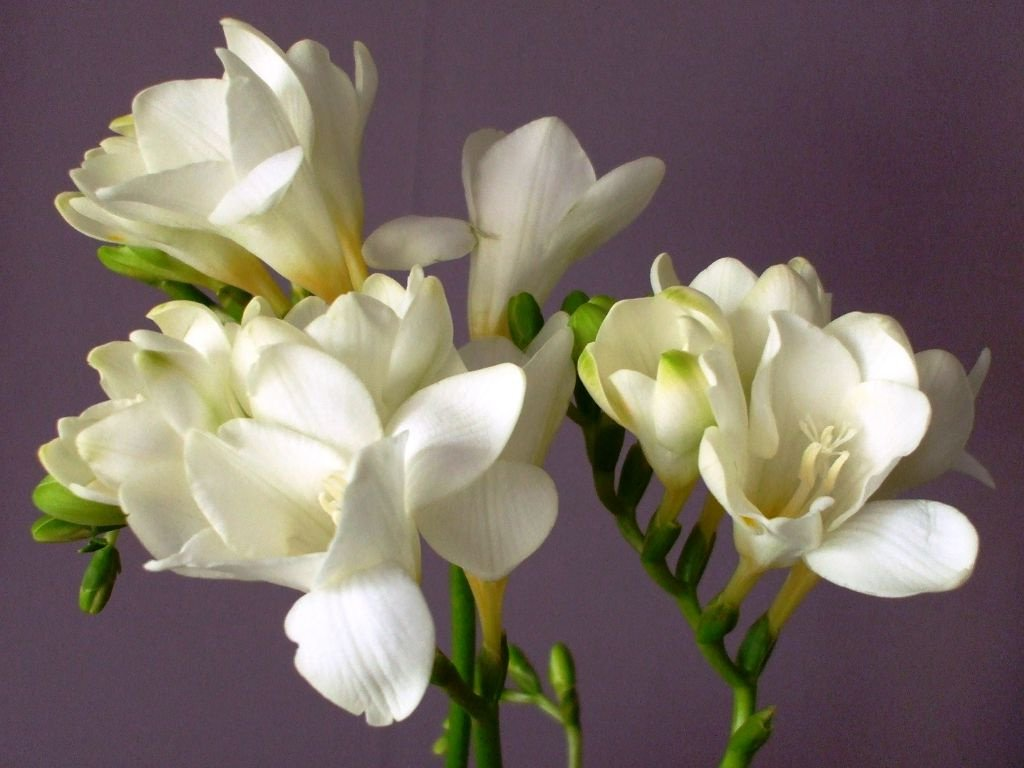 Анимированную картинку, цветы фрезия картинки
