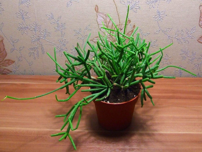 Виды кактуса Рипсалис - Энциклопедия цветов