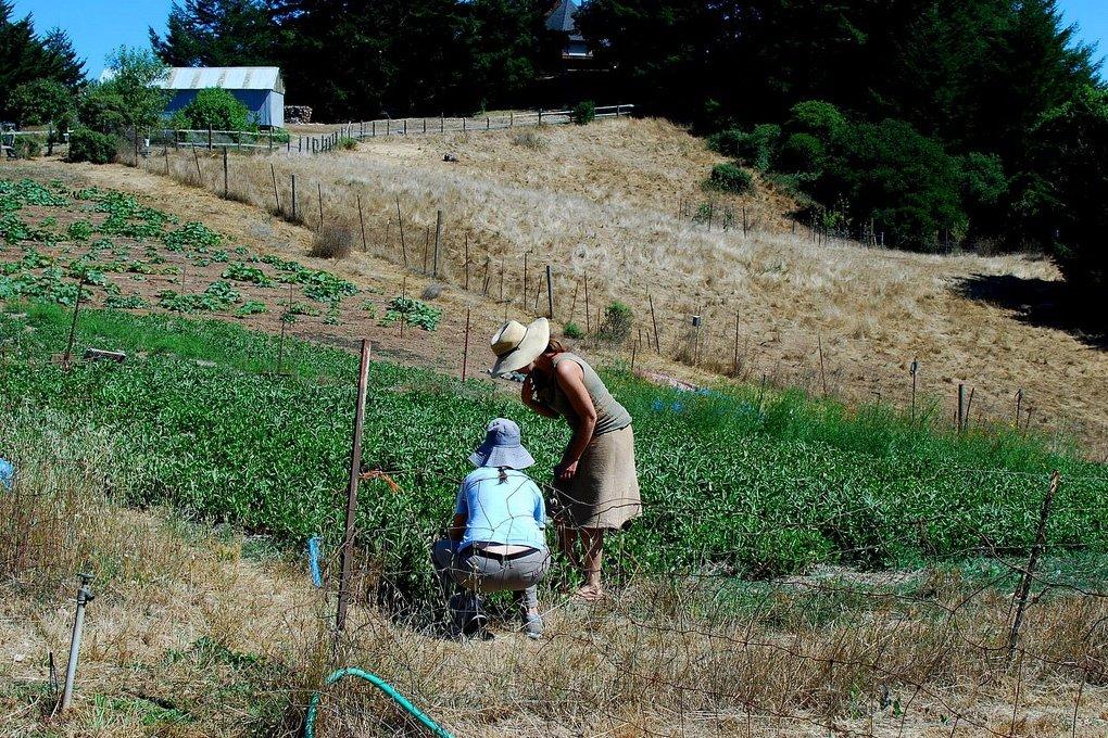 Выращивание индигоферы на плантациях