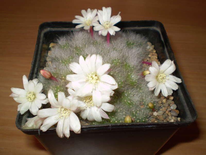 Ребуция альбифлора или белоцветковая