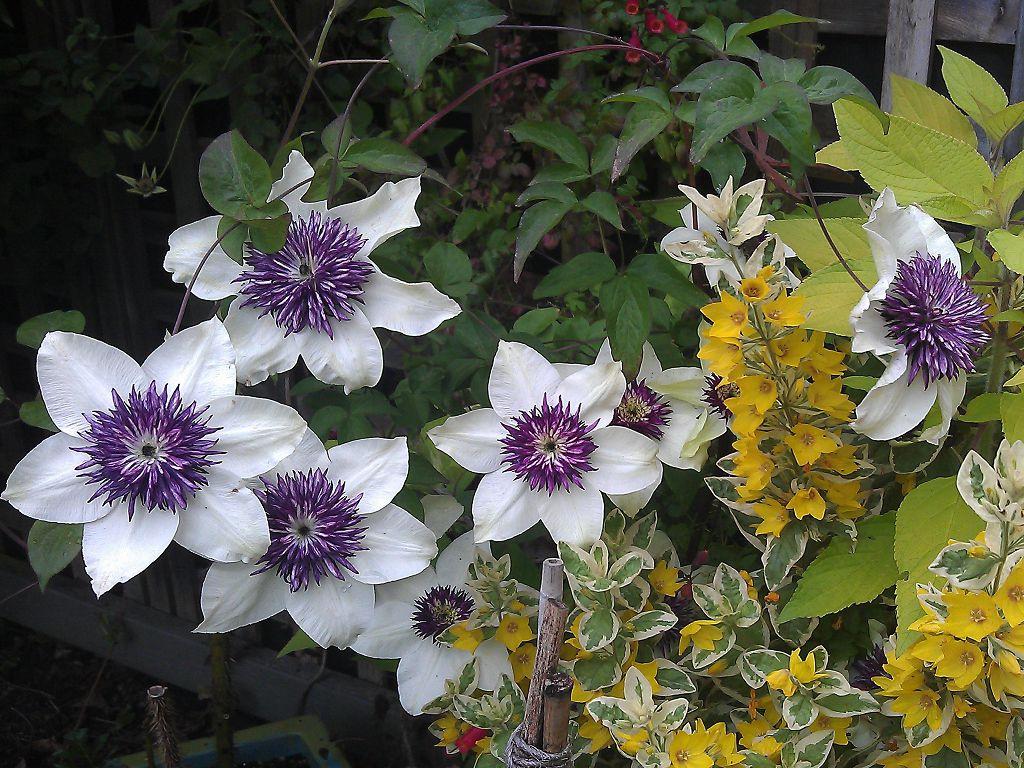 Клематис цветистый