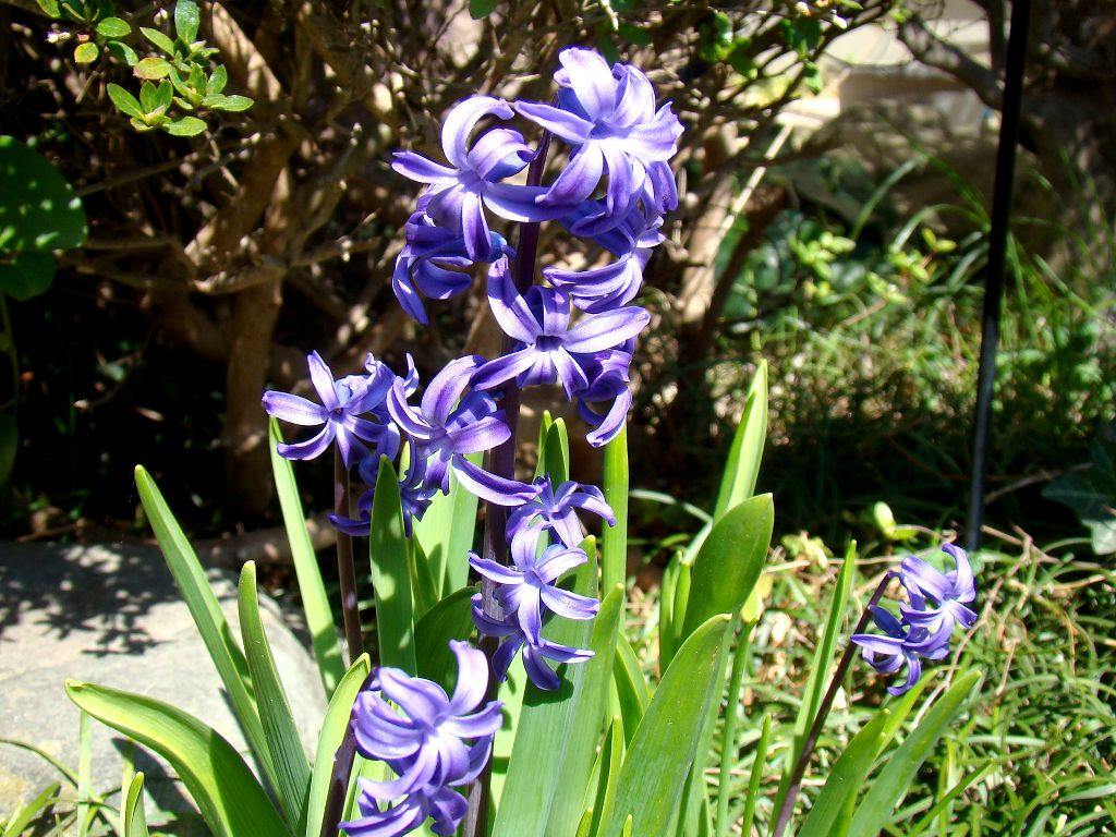 Виды, фото и другая полезная информация про комнатные цветы гиацинты