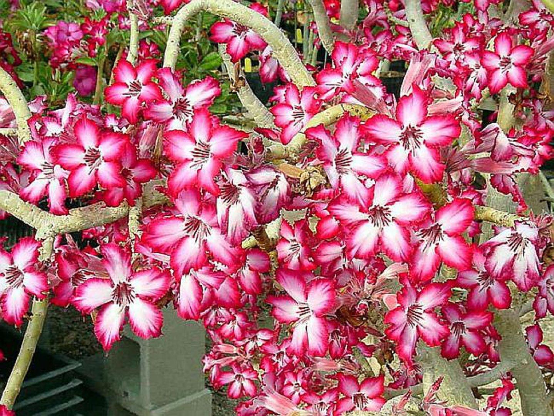 Адениум мультифлора или многоцветковый