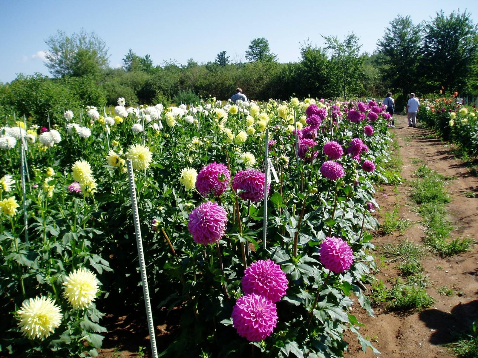 Как сажать георгины весной - подготовка и посадка клубней