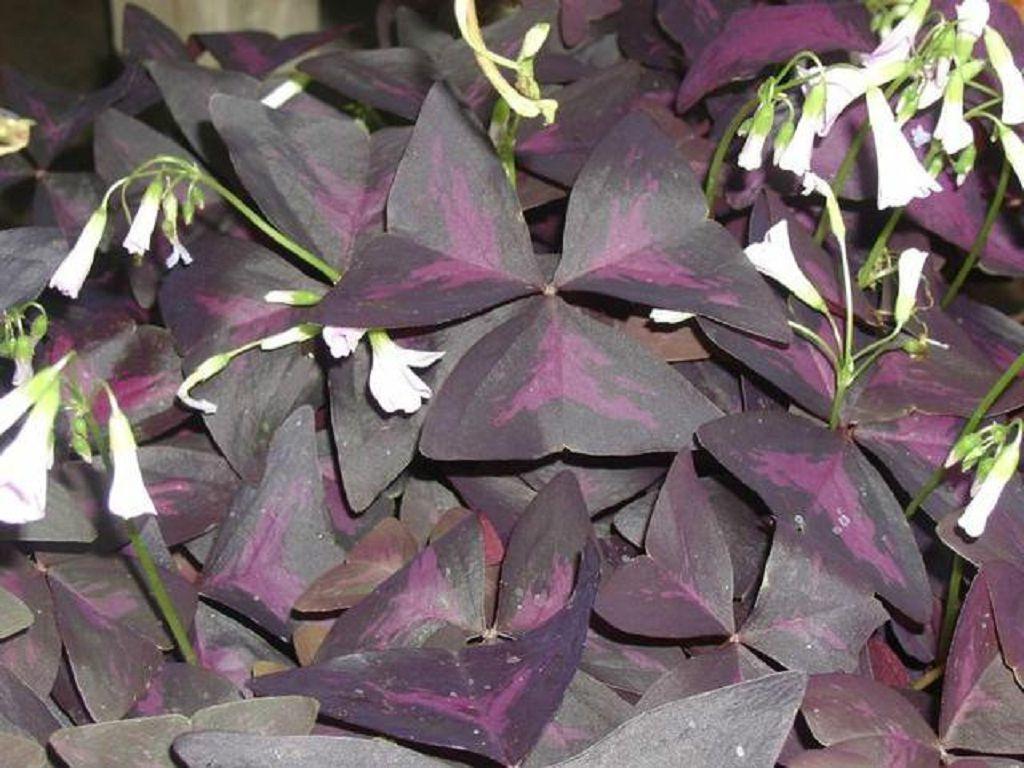 Кислица треугольная (фиолетовая)