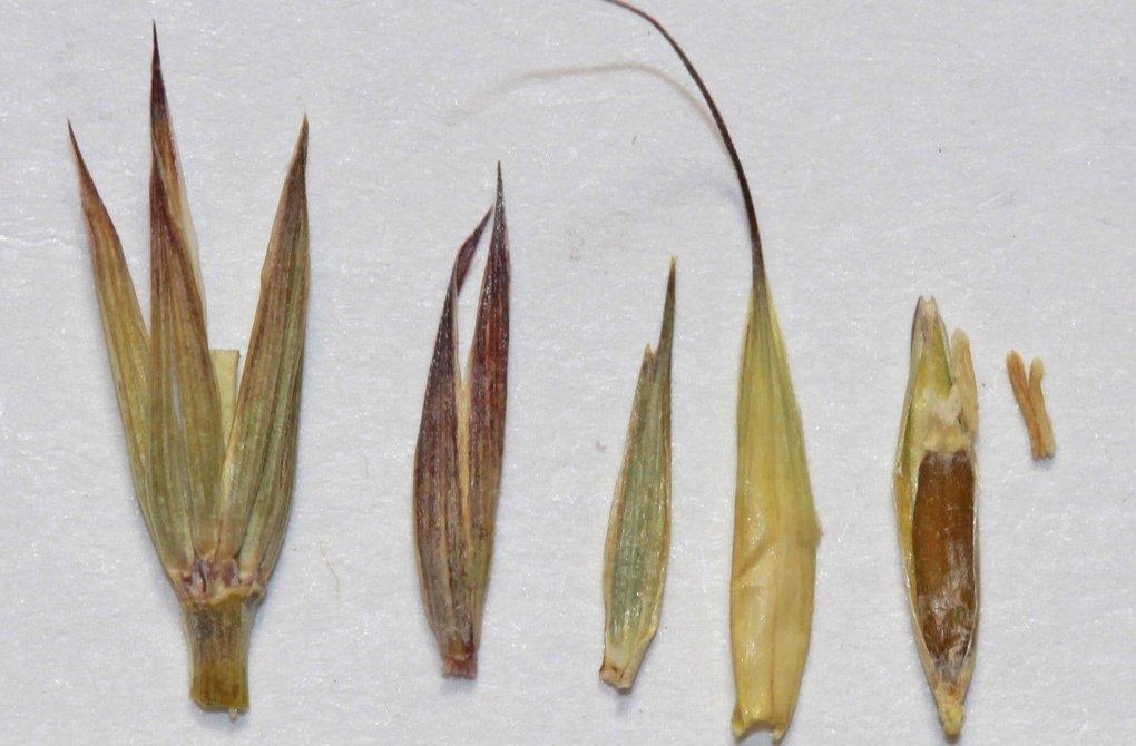 Семена колосняка