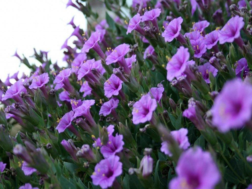 Мирабилис многоцветковый