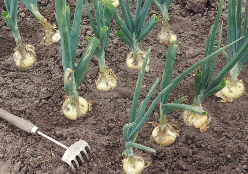Благоприятные дни для посева лука в 2019