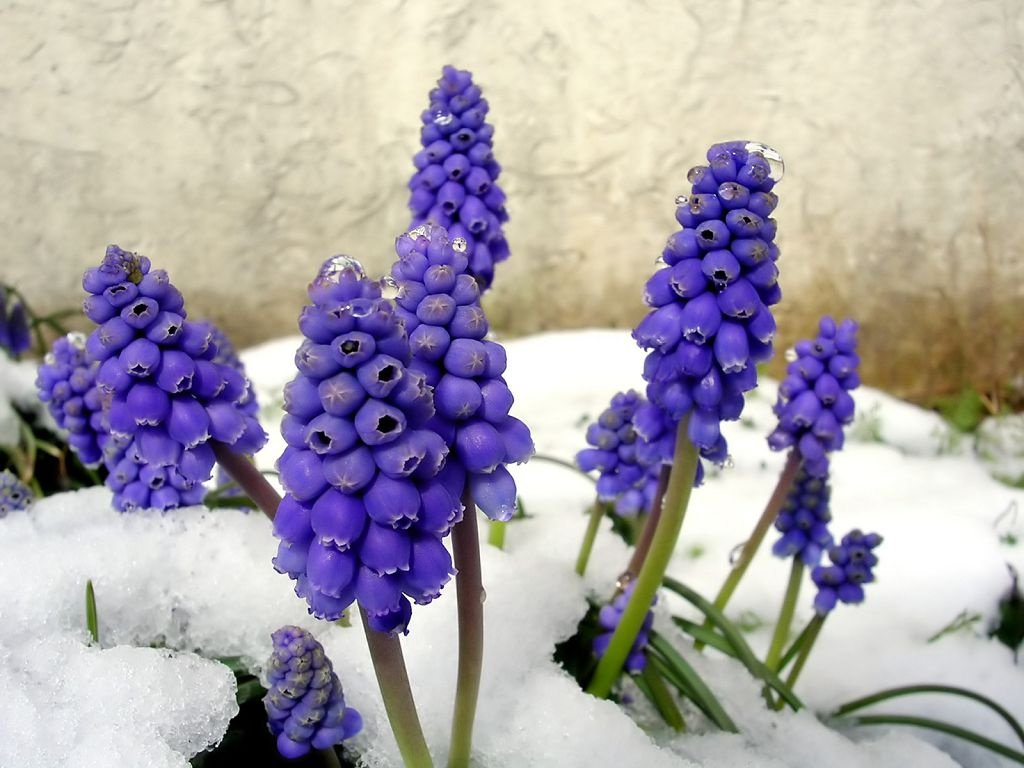 Мускари – грозди весенних цветов