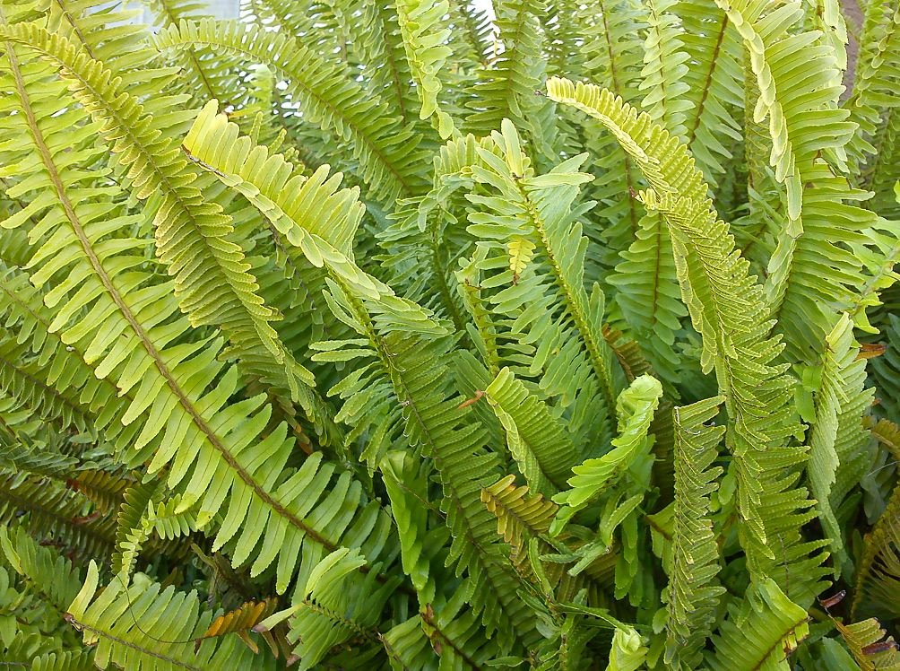 Папоротник Нефролепис – виды, уход и размножение в домашних условиях