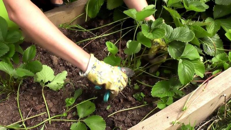 Чем обрабатывать клубнику весной от болезней и вредителей