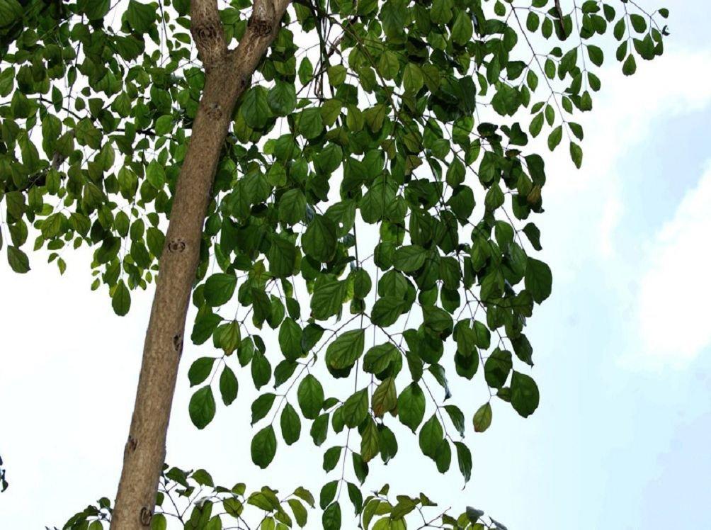 Радермахера древесноплодная