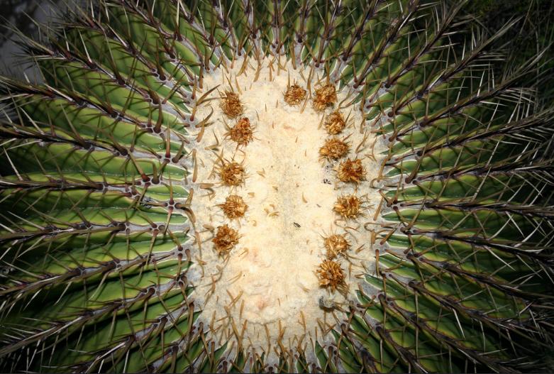 Эхинокактус плоскоколючковый
