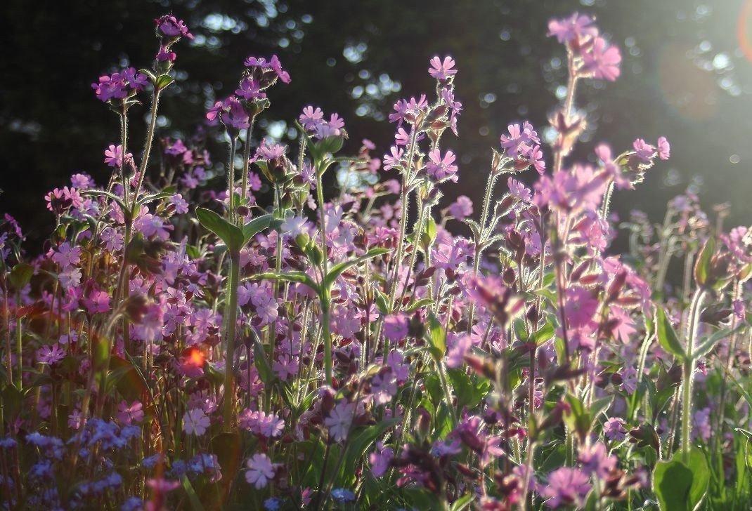 Лихнис многолетний — посадка и уход в открытом грунте