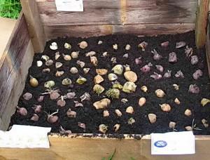 Как проращивают картофель для посадки: методы и способы