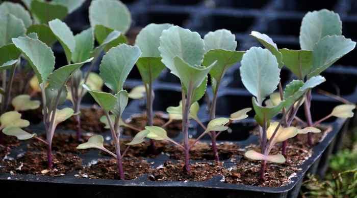 Когда сажать капусту на рассаду и пикировать поздней весной 2019 года: всё самое важное о сортовых особенностях и всхожести