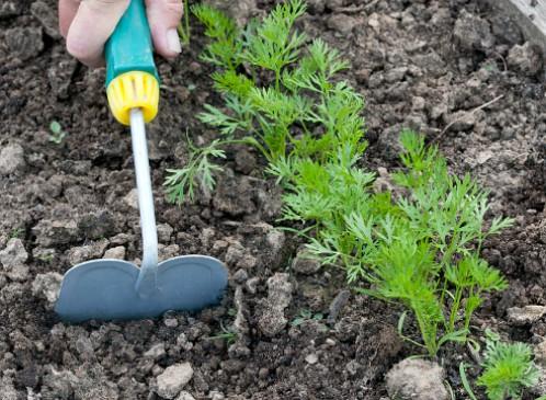 Когда и как сажать морковь весной 2019 года семенами