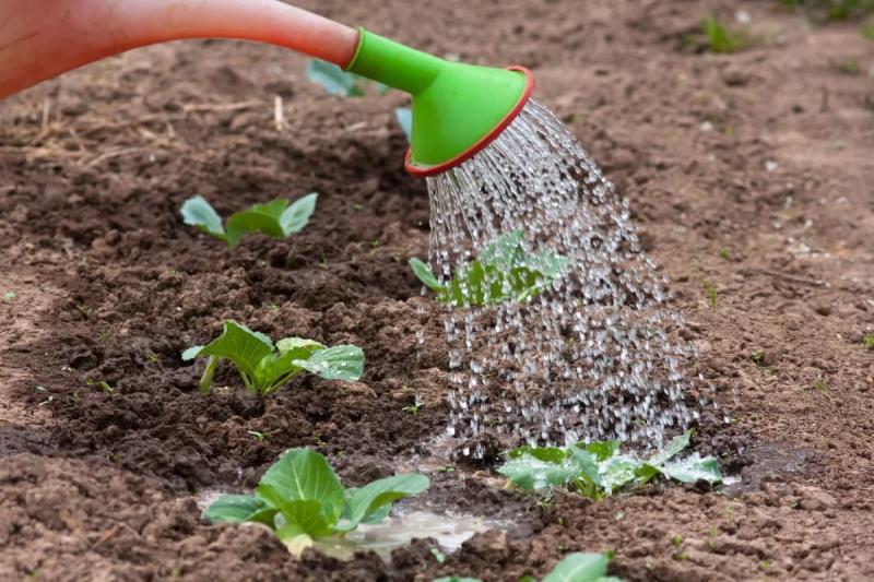 Когда сажать капусту на рассаду и пикировать в апреле 2019 года