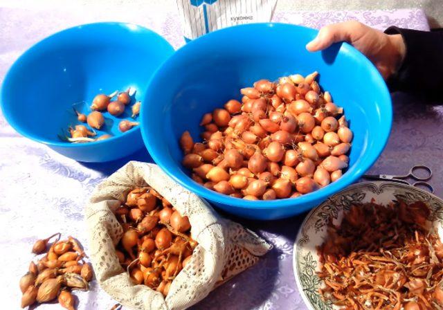 Когда сажать лук весной в открытый грунт: сроки посадки