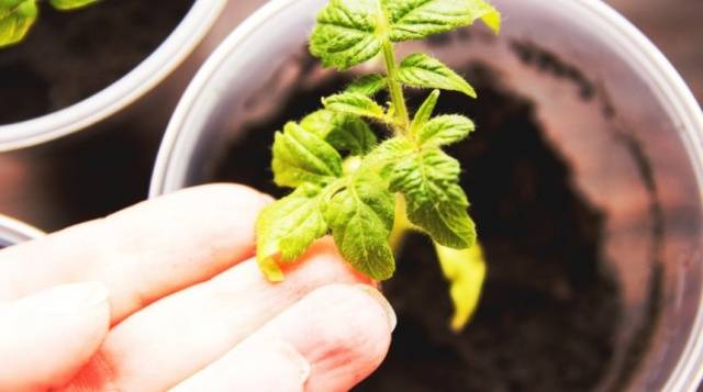 Почему желтеют листья рассады томатов: что делать