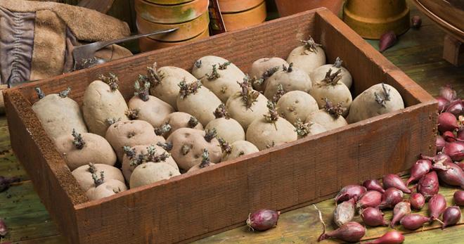 Проращивание картофеля перед посадкой - основные правила
