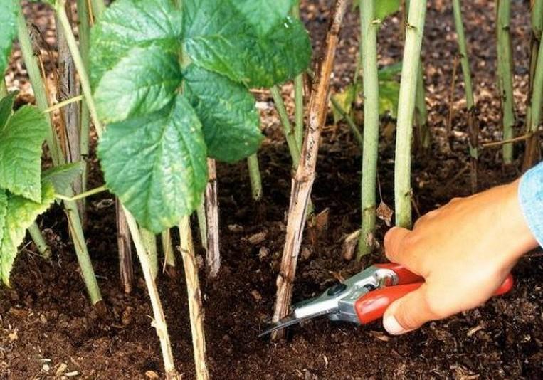 Малина: выращивание, посадка, обрезка