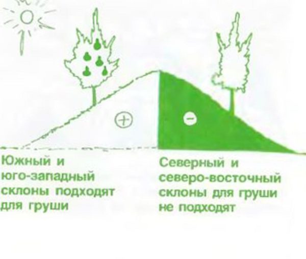 Посадка груши весной в разных регионах: пошаговое руководство