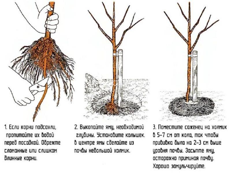 Посадка и уход за вишней: когда сажать, как обрезать вишню