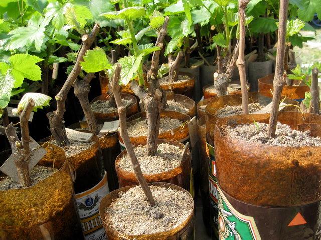 Правильная посадка винограда - залог хорошего урожая