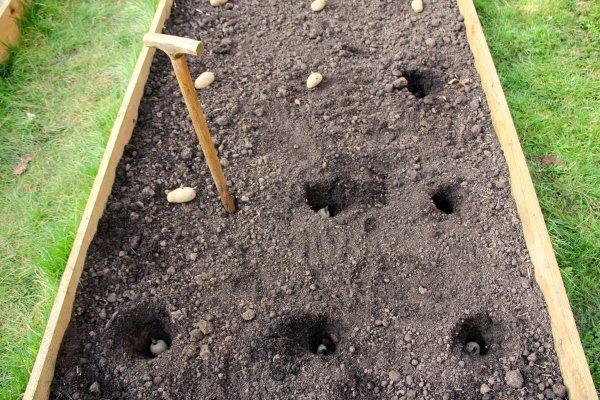 Сорт картофеля Гала: характеристика и правила выращивания