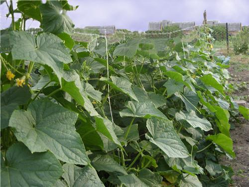 Список самоопыляемых высокоурожайных сортовых огурцов