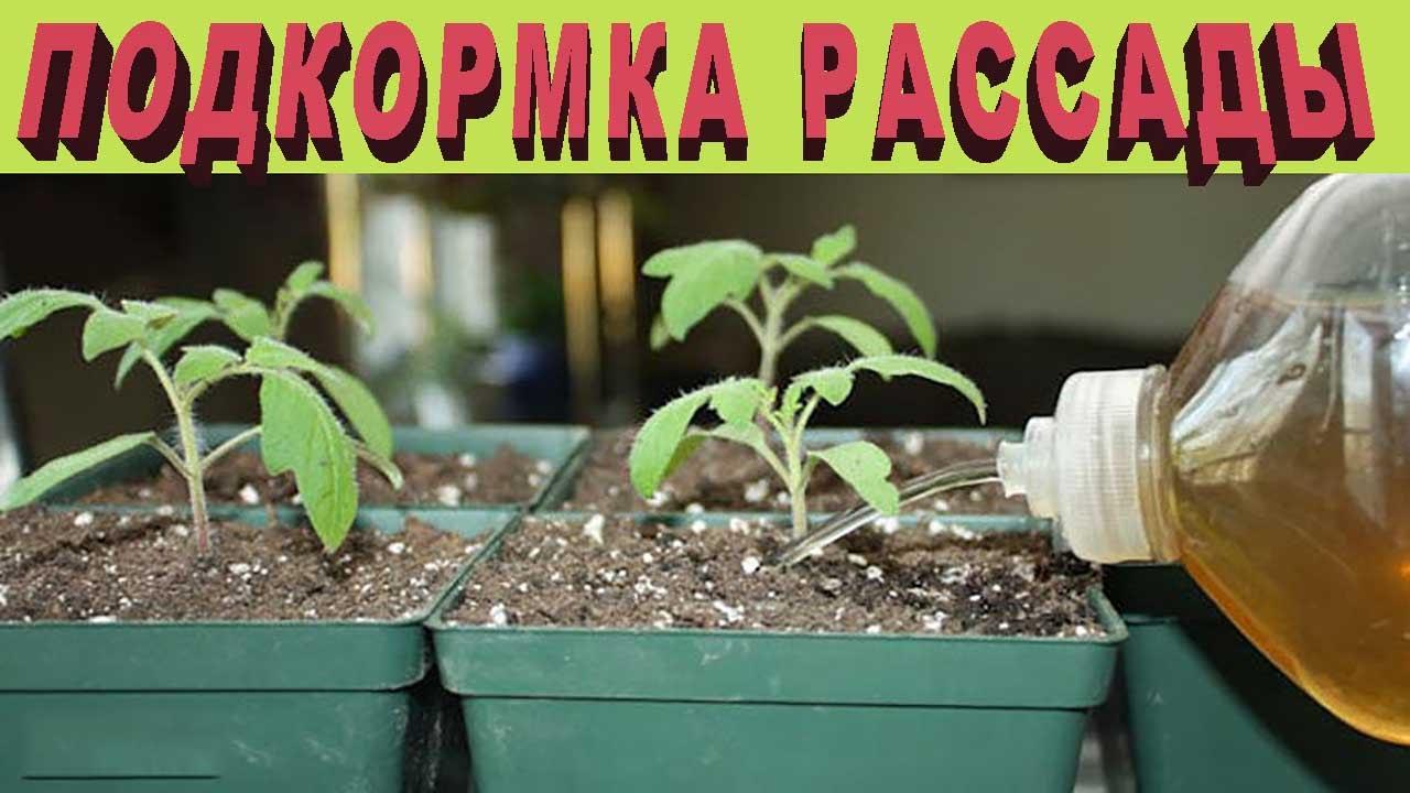 Йод для рассады помидор томатов подкормка в домашних условиях