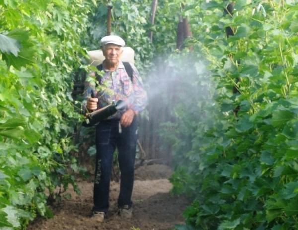 Виноград: посадка и уход в открытом грунте