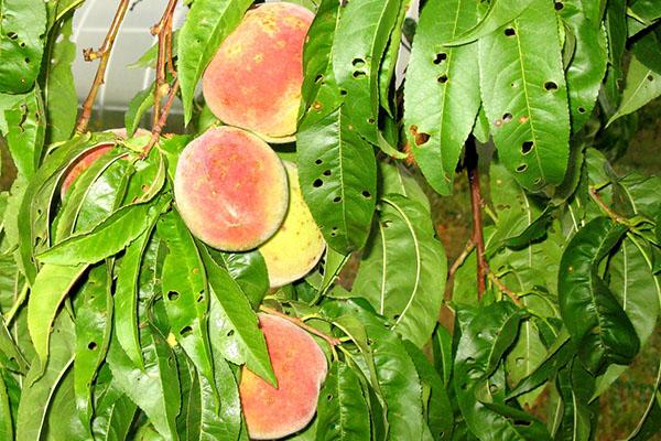 Чем обработать яблони ранней весной от вредителей и болезней