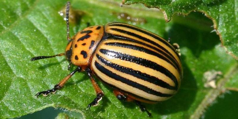Колорадский жук: средство, борьба, народные и химические методы защищающие от вредителя